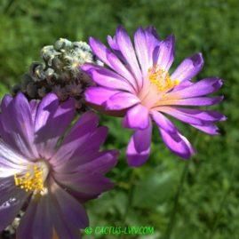 Mammillaria theresae. Власне коріння. Вік: 10 р. Власник: Я.П.Джура. Фото: Я.П.Джура.