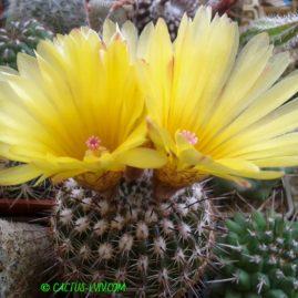 Notocactus mammulosus. Власник: І.Бець. Фото: І.Бець.