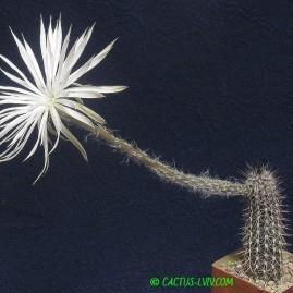 Setiechinopsis mirabilis. Власник: А.Ю.Печерський. Фото: А.Ю.Печерський.