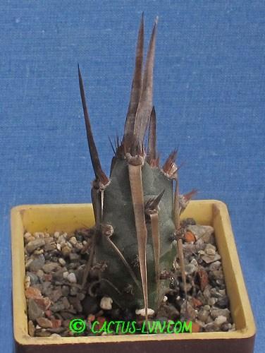 Tephrocactus articulatus v.diadematus