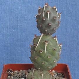 Tephrocactus articulatus. Власник: А.Ю.Печерський. Фото: А.Ю.Печерський.