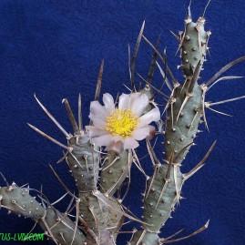Tephrocactus articulatus v.diadematus. Власник: А.Ю.Печерський. Фото: А.Ю.Печерський.