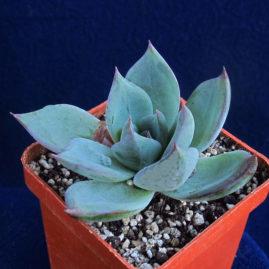 Echeveria affinis x secunda. Власник: Я.П.Джура. Фото: А.Ю.Печерський.