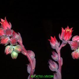 Echeveria affinis x secunda - цвітіння у вересні. Власник: Я.П.Джура. Фото: Я.П.Джура.