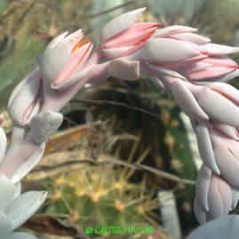 Echeveria lauii. Цвітіння у вересні. Власник: Я.П.Джура. Фото: Я.П.Джура.