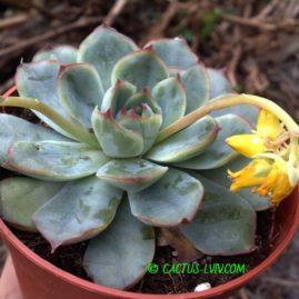 Echeveria pulidonis. Фото: Я.П.Джура.