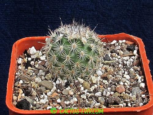 Gymnocactus ysabelae