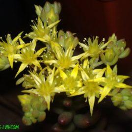 Sedum rubrotinctum - квіти. Власник: Я.П.Джура. Фото: Я.П.Джура.
