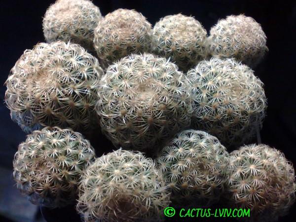 Gymnocactus ysabelae PP 835 Tula (Dohnalik)