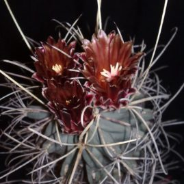 Glandulicactus uncinatus v.wrightii. Вік рослини: 17 р. Власник: Я.П.Джура. Фото: Я.П.Джура.