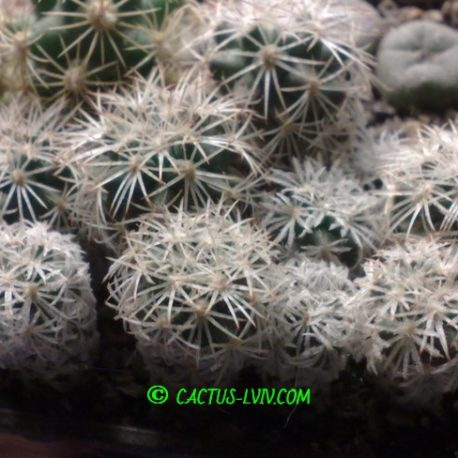 Gymnocactus mandragora KMR 102 S Estanque Menchaca Coa (Dohnalik)