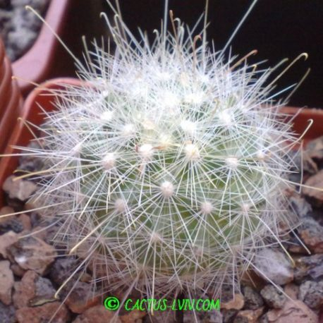 Mamillopsis senilis