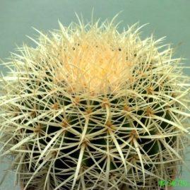 Echinocactus grusonii. Фото: Я.П.Джура.