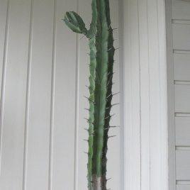 Myrtillocactus cochal