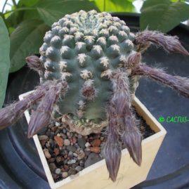 Pygmaeocereus bieblii. Щеплення, вік: 4 р. Власник: І.Б.Маринюк. Фото: І.Б.Маринюк.