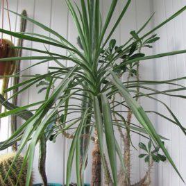 Yucca ( Юка стовбурна )