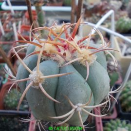 Echinocactus horizonthalonius Canyon de Ventanillas, Coah, Mex. Щеплення. Власник: І.Б.Маринюк. Фото: І.Б.Маринюк.