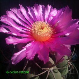 Echinocactus horizonthalonius Las Tablas, SLP. Квіти Ø 9-10 см. Щеплення, вік: 15 р. Власник: Я.П.Джура. Фото: Я.П.Джура.