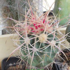 Echinocactus polycephalus New Berry Springs, CA, USA. Щеплення. Власник: І.Б.Маринюк. Фото: І.Б.Маринюк.