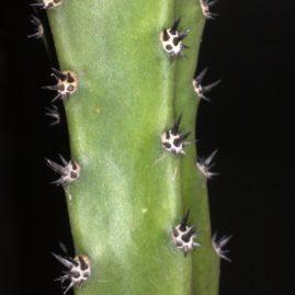 Eriocereus jusbertii. Використовують як високоякісну підщепу. Власник: Я.П.Джура. Фото: Я.П.Джура.