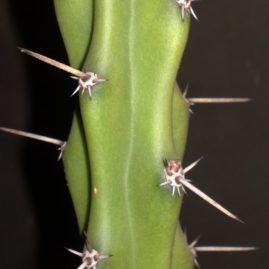 Eriocereus pomanensis. Використовують як високоякісну підщепу. Власник: Я.П.Джура. Фото: Я.П.Джура.