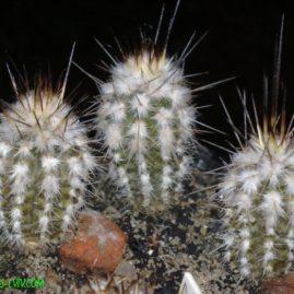 Eulychnia saint-pieana KV 004-4 Pan De Azucar, Chile. Вік рослин: 4 р. і 6 міс. Власник: Я.П.Джура. Фото: Я.П.Джура.