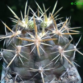 Neochilenia recondita (=Reicheocactus floribundus). Рослина у віці 10 р. Власник: Я.П.Джура. Фото: Я.П.Джура.