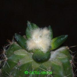 Ariocarpus(Neogomesia) agavioides