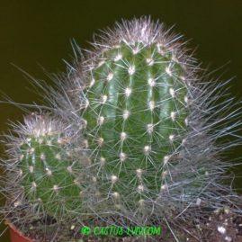 Thrixanthocereus blossfeldiorum. Фото: Я.П.Джура.