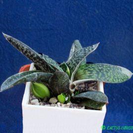 Gasteria hybr. f.variegata