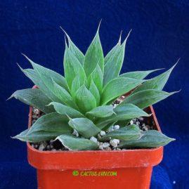 Haworthia cymbiformis. Власник: А.Ю.Печерський. Фото: А.Ю.Печерський.