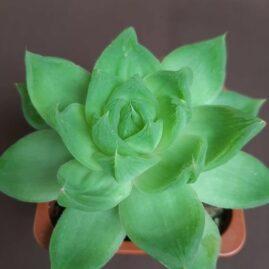 Haworthia cymbiformis v.planifolia (Haw.) Baker. Власник: С.Панасик. Фото: С.Панасик.