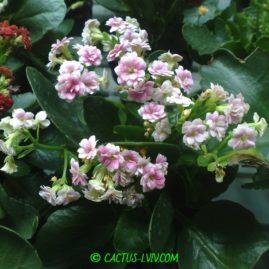 Kalanchoë blossfeldiana cv.Calandiva. Фото: Я.П.Джура.