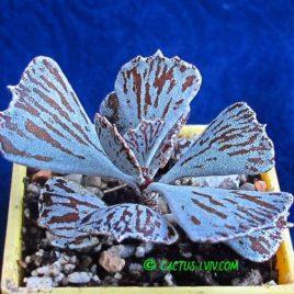 Kalanchoë rhombopilosa