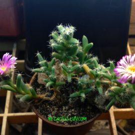 Trichodiadema densum. Власник: Я.П.Джура. Фото: Я.П.Джура.