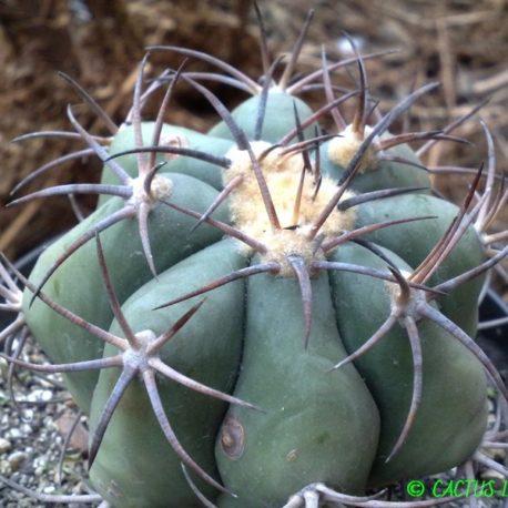 Echinocactus horizonthalonius Las Tablas