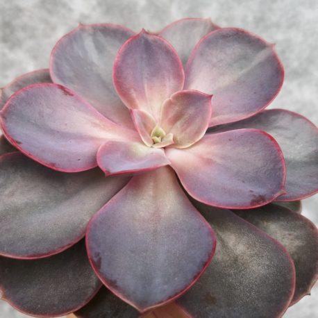 Echeveria 'Perle Von Nürnberg'