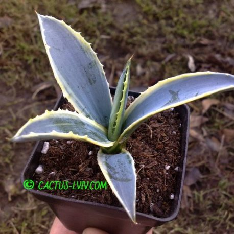 Agave americana f.variegata 'Marginata aurea'