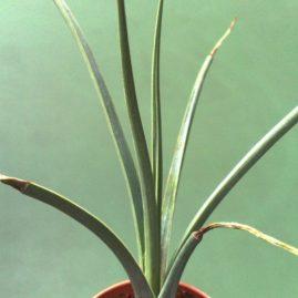 Agave striata. Молода рослина. Фото: Я.П.Джура.