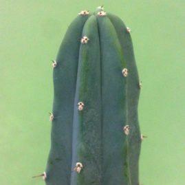 Myrtillocactus geometrizans. Фото: Я.П.Джура.