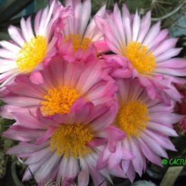 Notocactus herteri. Вік: 24 р. (посів 1993 р.). Власник: Я.П.Джура. Фото: Я.П.Джура.