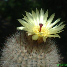 Notocactus scopa. Вік: 11 р. Власник: Я.П.Джура. Фото: Я.П.Джура.