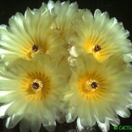 Notocactus submammulosus. Вік: 13 р. Власник: Я.П.Джура. Фото: Я.П.Джура.