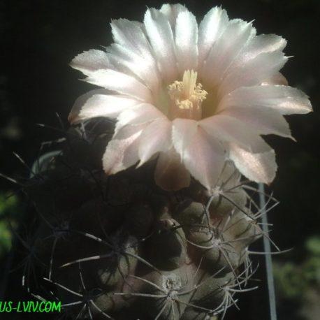 Neochilenia fusca (MG'2008)