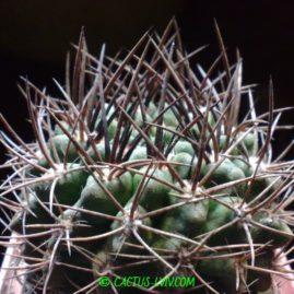Neochilenia neohankeana. Приблизний вік рослини: 15 р. Фото: Я.П.Джура.