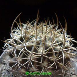 Neochilenia odoriflora (Piltz)
