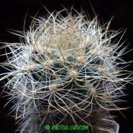 Neoporteria multicolor. Фото: Я.П.Джура.