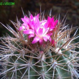 Neoporteria sociabilis. Власний корінь. Приблизний вік рослини: 15 р. Фото: Я.П.Джура.