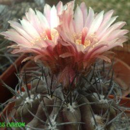 Pyrrhocactus tenuis. Вік рослини: 21 р.(посів 1996р.). Фото: Я.П.Джура.