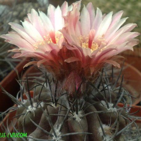 Pyrrhocactus tenuis